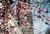 one day, baby, we'll be old, oh baby, we'll be old (lina zelonka) Tags: magdeburg sachsenanhalt germany linazelonka saxonyanhalt blossoms spring pink blüten rosa frühling bloom blooms church kirche time uhr clock architecture europe deutschland nikond7100 18105mm blossom tree