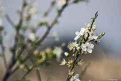 Primavera (Masenko84) Tags: fotografia italy italia fiore cerretoguidi fiorito canon d600 gita fotografando natura passione passion flower fantasticflower naturalmente primavera