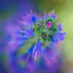 Emerging (Karsten Gieselmann) Tags: 40150mmf28 blau blauernatternkopf bokeh dof em5markii grün lila mzuiko microfourthirds natur olympus pflanzen schärfentiefe textur vipersbugloss wildblumen blue blueweed echiumvulgare green kgiesel m43 mft nature purple texture violett wildflowers