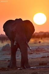 Elephant at Sunset (naturalturn) Tags: elephant savanna sunset savuti chobe chobenationalpark botswana image:rating=5 image:id=206231