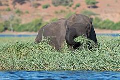 botswana-2017_DSC0497b (Marco Pozzi photographer (880k+ views, thanks)) Tags: chobe chobenationalpark elephant river elefante botswana africa africanelephant marcopozziphotographer marcopozzi pozzi specanimal specanimalphotooftheday