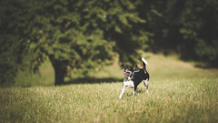 Catching The Moment (Thomas Paal Photography) Tags: sigma 85mm art f14 14 wide open test review lens objektiv dog hund ballspiel play ball catch pet action nature animal tier bokeh