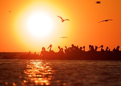 Seabird Sunrise (webgoers) Tags: americanwhitepelican caspiantern herringgull doorcounty sunrise lakemichigan wisconsin