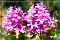 Don't brood. Get on with living and loving. You don't have forever. (Leo Buscaglia) (boeckli) Tags: flowers pflanzen plants plant bloom blossom blüten blumen bunt farbig flower bright textures texturen blooms blossoms painterly colourful rahmen texture australia orchids orchideen topaz topazimpression2 epidendrum epidendrumorchids gloriaokeefe garden garten outdoor purple lila awardtree netartii greenscene