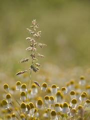 Star d'un jour **--- ° (Titole) Tags: grass camomille camomile many titole nicolefaton chamomile thechallengefactory
