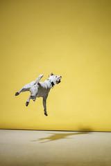 BEDOG SS // 2017 (Celeste Martearena) Tags: bedog bedogcommunity celestemartearena dog puppy perro pet supply jack russel fun jump play tiny collar harnes leash pinscher campaign advertising fashion photoshoot photostudio mrpixel colorblock minimal minimalistic minimalism yellow turqouise colorful rainbow