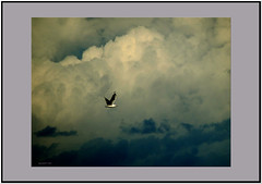 High flyer. (agphoto100) Tags: bird flight flying flyer clouds frame dark