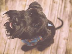 (IVAN M3JIA) Tags: dog schnauzer miniatureschnauzer minischnauer nikon cherrymatt matte cherrymatte dogs flickrdog pets perro cachorro