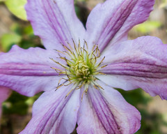 the  centre of the clematis (downhamdave) Tags: macro close up garden flower lilac purple clematis canon g7x elements 13 raw