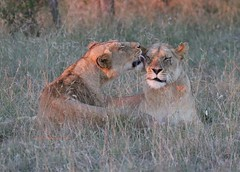 Sisters groom each other in the waning evening light Kruger National Park, South Africa (Victoria Morrow) Tags: