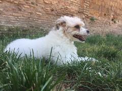 Icey (ilirjacellari) Tags: ilovemydog roma littledog dogs