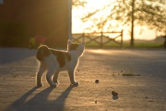Kitty In The Sun (Sapphire Dream Photography) Tags: cat cats felines domesticcat domesticcats kitten kittens kitty kitties pet pets animal animals feliscatus domestic sleeping snooze eye eyes rescue rescues stray strays homeless playful cute adorable babyanimals calico