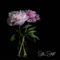 Two of a Kind. (Sue Sayer) Tags: peony peonies pink flower floraandfauna nature flowers lowkey macro