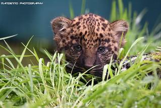 African leopard cub - Olmense zoo