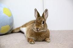 Ichigo san 749 (Ichigo Miyama) Tags: いちごさん。うさぎ ichigo san rabbit うさぎ netherlanddwarfbunny netherlanddwarf brown ネザーランドドワーフ ペット いちご