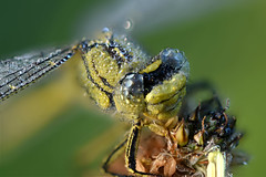 Morgentau (rudolfaurnhammer) Tags: natur tiere insekten libellen morgentau westliche keiljungfer makro