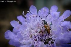 Brauner Käfer / Brown Bug (R.O. - Fotografie) Tags: käfer bug braun brown makro macro closeup close up nahaufnahme bokeh insekt insect outdoor panasonic lumix dmcfz1000 dmc fz1000 fz 1000 rofotografie natur nature