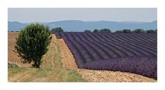 Plateau de Valensole - Lavendel und mehr (Babaou) Tags: frankreich france valensole plateaudevalensole lavendel getreidefeld getreide dxo lalonde2017 provencealpescôtedazur provence alpesdehauteprovence paca d8