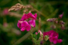 Wild flowers (mariokopatz) Tags: flower wildmeadow tessar50 carlzeissjena czj 50mmf28 50 f28