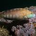 Gunthers wrasse - Pseudolabrus guentheri