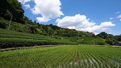 Rice and tea, Wazuka (Eric Flexyourhead) Tags: wazuka wazukacho 和束町 soraku sorakugun 相楽郡 kyoto 京都市 kansai 関西地方 japan 日本 rural countryside inaka agriculture rice ricefield tea teafield teaplantation landscape 169 olympusem5 panasoniclumix714mmf40