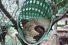 (cincofaces) Tags: campo galinhas galinha pena