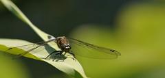 chiedo autorizzazione al decollo... (andrea.zanaboni) Tags: libellula dragonfly azzurro libellulaazzurra occhi eyes nikon macro insects predatore colori colors