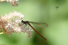 waterjuffer (jehazet) Tags: jehazet waterjuffer insecten insects red rood rodgersiaaesculifolia