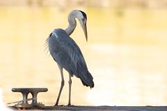 Airone cenerino (kmclaudio) Tags: pentaxart uccello airone bird ali cielo acqua bitta pontile molo allaperto