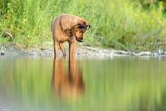 Dans l'eau (Rachel Jacot) Tags: chien dog water eau reflets