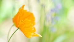 Poppies II (paulapics2) Tags: poppy spring closeup depthoffield bokeh nature garden flora fleur blümen canoneos5dmarkiii sigma105mmf28exdgoshsmmacro colourful hbw