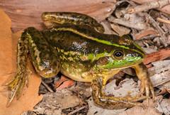 Dahl's Aquatic Frog (Litoria dahlii) (JLoyacano) Tags: australia dahlsaquaticfrog dahlsaquaticfroglitoriadahlii foggdam frog jacobloyacano litoriadahlii nt anura anuran dam herp herping litoria northernterritory