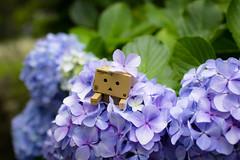 Tateyama city / Canon EOS60D:SIGMA Art 30mm F1.4 DC HSM (telenity) Tags: japan hydrangea flower danboard amazon mini canon cute 日本 館山 ダンボー アマゾン ミニ あじさい