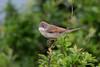 Whitethroat (Shane Jones) Tags: whitethroat warbler bird wildlife nature nikon d500 200400vr