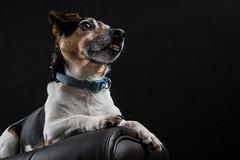 Milo (MX Man) Tags: godox ad 360 ft 16 fuji xt 2 1655 f28 jack russell dog pet mans best friend strobist guard will do anything for food