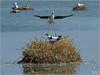P6048573si (Henri Dedun) Tags: échasse blanche mouette rieuse bird oiseau