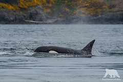 Transient Orca (fascinationwildlife) Tags: animal mammal orca killer whale transient predator pod sea ocean wild wildlife nature natur kanada canada bc vancouver island coast blow wal british columbia