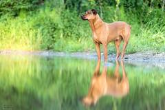 Très fier (Rachel Jacot) Tags: chien dog fier reflet eau canon