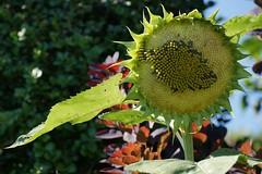 slim pickings (Riex) Tags: seeds graines slimpickings sunflower flower soleil fleur yellow tournesol nature a900 minoltaamount amount tamronsp70300mmf456