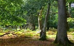 Matley Wood, New Forest NP, Hampshire, England (east med wanderer) Tags: england hampshire uk newforest nationalpark forest woodland trees oak beech holly bracken walking worldtrekker