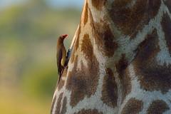 Red-billed oxpecker (Van-HC) Tags: animal bird krugerpark southafrica africa krugernationalpark redbilledoxpecker giraffe bohek satara satararestcamp oxpecker redbilled bugs inserts