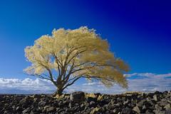 Les saules de Cap-Saint-Ignace (Patrice StG) Tags: nex3 ir infrarouge infrared gimp darktable nikkor1855g tree arbre rock stone pierre tiffen47