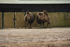 Chester Zoo (101) (rs1979) Tags: chesterzoo zoo chester asiansteppe bactriancamel