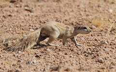 Southern African Ground Squirrel, Solitaire, Namibia October 2014 (Sterna999) Tags: southernafricangroundsquirrel xerusinauris solitaire roadc26 landscape namibia südafrika desert wüste