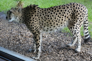 Cheetah licking glass
