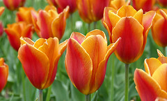 Tulips and more tulips! (Through Serena's Lens) Tags: tulip outdoor colorful dof closeup 7dwf flora