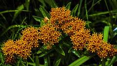 Butterfly-weed (Asclepias tuberosa) (woodchuckiam) Tags: butterflyweed asclepiastuberosa wildflower flower plant perennial native spring summer orange woodchuckiam