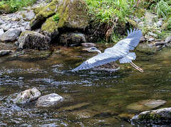 Grey Heron in flight. (redhead126) Tags: devon watersmeet grey heron