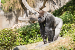 2017-06-05-12h27m28.BL7R7090 (A.J. Haverkamp) Tags: bokito canonef100400mmf4556lisiiusmlens rotterdam zuidholland netherlands zoo dierentuin blijdorp diergaardeblijdorp httpwwwdiergaardeblijdorpnl gorilla westelijkelaaglandgorilla dob14031996 pobberlingermany nl
