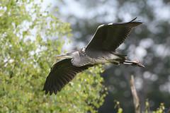Heron (Shane Jones) Tags: heron bird wader predator birdinflight wildlife nature nikon d500 200400vr